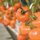 These tomatoes in one of Four Season Farm's Wallingford greenhouses are hanging on a tall rack, ripening hydroponically.