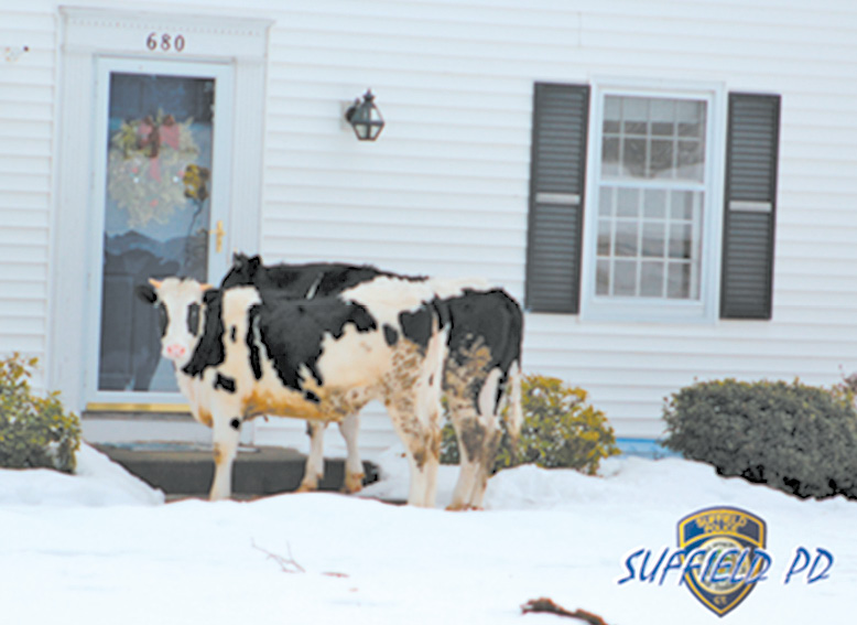 Early one morning Suffield police officers responded to a complaint of two suspicious individuals going door to door trying to sell dairy products. Officers determined that the two did not have a solicitor's permit and after a short foot pursuit apprehended them. Police would like to advise residents to never open their doors to unfamiliar cattle. These cows are famous having made international news.