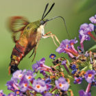 The photographer offered this picture because so many people have  never seen this unusual creature. Hummingbird moths look  very much like hummingbirds, which is their way of deterring predators!