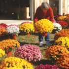 Grace-Ann Clark sets out another colorful chrysanthemum at Goodyear Farm on Mountain Road.