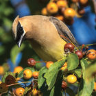 This beautiful picture of a Cedar Waxwing was taken in Suffield.
