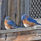 A pair of bluebirds take a bit of shelter in the freezing cold of early January.