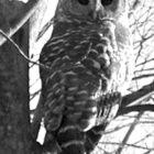 A barred owl surveys his winter landscape.