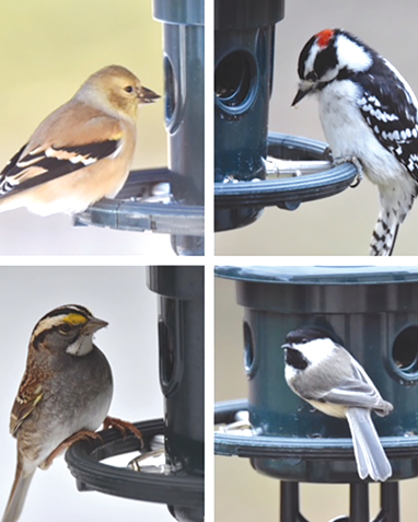 These little fellows were all seen dining at the same Suffield feeder. Clockwise from upper left: Eastern Wood Peewee, Downy Woodpecker, Chickadee, Dusky Warbler.